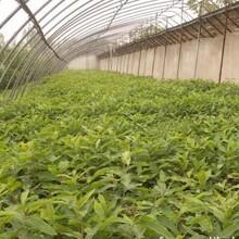 江西省板栗樹批發報價什么品種好推薦一個保成活求購保成活圖片