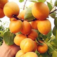 江西省极早熟杏树苗低价出售保成活包品种包成活率图片