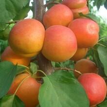 湖南省特早熟一号杏树苗优质品种千万别错过保成活最佳种植时间保成活图片