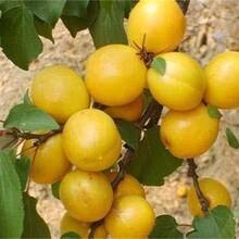 辽宁省1公分珍珠油杏树苗今年哪个品种好保成活包品种包成活率图片