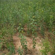 山东省凯特杏树苗什么品种好推荐一个保成活包品种包成活率图片