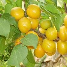 江西省极早熟杏树苗什么品种好推荐一个保成活最佳种植时间保成活图片