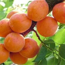 江西省极早熟杏树苗什么品种好推荐一个保成活长期出售保成活图片
