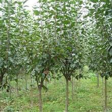 内蒙古自治区短枝杏树苗今年哪个品种好保成活最佳种植时间保成活图片