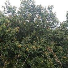 东城区板栗树苗价格最佳种植时间保成活应该如何种植图片