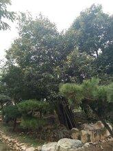 石景山区泰山黄棚板栗苗长期出售保成活修剪技术图片