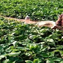 海淀区甜查理草莓苗长期出售保成活几月份种植成活率高图片
