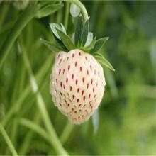 西城区红颜草莓苗长期出售保成活修剪技术图片