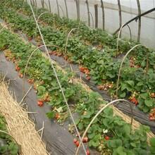 北京草莓苗包品种包成活率种植要领图片
