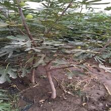 海淀区波姬红无花果树苗报价合理的优质品种千万别错过保成活图片