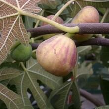 海淀区波姬红无花果树苗什么时候种植保成活品种优纯度高保成活图片