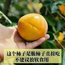 东城区大秋甜柿树苗包品种包成活率优质品种千万别错过保成活图片