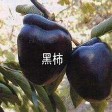 海淀区无核斤柿树苗报价合理的价格低结果多保成活图片