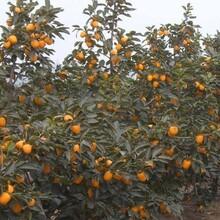 东城区大秋甜柿树苗什么时候种植保成活价格低结果多保成活图片