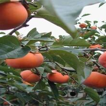 东城区大秋甜柿树苗求购保成活今年哪个品种好保成活图片