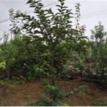 西城区磨盘柿树苗最佳种植时间保成活价格低结果多保成活图片