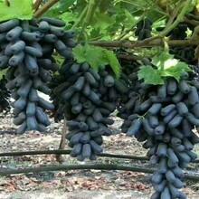 北京市莎巴珍珠葡萄树苗求购保成活价格低结果多保成活图片
