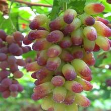北京市莎巴珍珠葡萄树苗长期出售保成活新品种介绍保成活图片