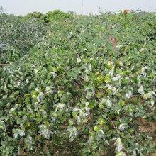 應注意的關鍵問題保成活北京龍須棗樹苗求購棗苗保成活應注意的關鍵問題保成活圖片