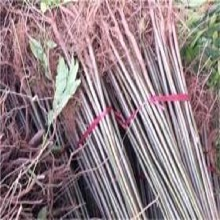 海淀區黃羅傘樹苗報價合理的保成活的圖片