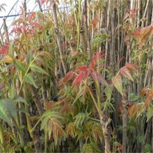 今年哪個品種好保成活房山區紅油椿苗出售早熟高產保成活今年哪個品種好保成活圖片
