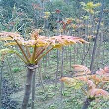 批發價格是多少保成活北京紫香椿樹苗長期出售保成活批發價格是多少保成活圖片