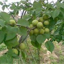 山东淄博核桃树苗包品种包成活率出售价格是多少核桃树苗图片