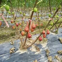 山東淄博布蘭瑞克無花果樹苗最佳種植時間圖片