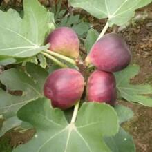 山東濟寧紅矮生無花果樹苗早熟高產專業種植品種介紹當年結果圖片