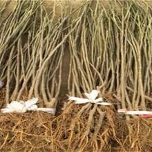 山東煙臺中國紫果無花果樹苗早熟高產專業種植畝產是多少圖片