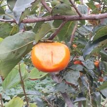 山东济宁阳丰甜柿树苗什么时候种植亩产是多少图片