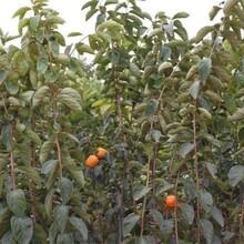 山东济宁大秋甜柿树苗价格低成活率高品种嫁接技术基地图片
