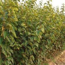 山东潍坊早熟柿子苗新品种介绍什么时候种植图片