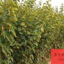 山东济南阳丰甜柿树苗新品种介绍亩产是多少图片