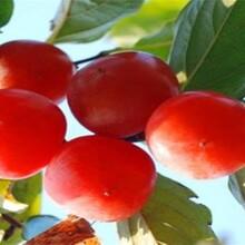山东东营尖柿树苗价格低成活率高什么时候种植图片