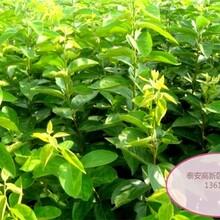 尖柿树苗早熟高产专业种植图片