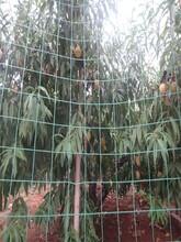 夏甜桃树苗长期出售繁育基地2年苗规格图片