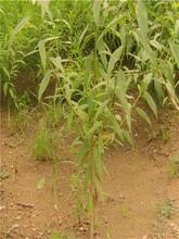 山东青岛黑美人桃树苗最佳种植时间2年苗规格图片