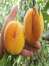 山东烟台黑美人桃树苗最佳种植时间购买标准多久结果图片
