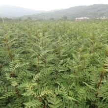 山东枣庄三年的花椒树苗价格长期出售繁育基地批发价格是多少图片