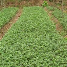 山东东营花椒苗基地花椒苗批发早熟高产专业种植批发价格是多少图片
