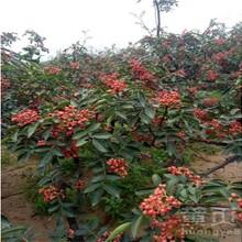 山东枣庄出售花椒苗亩产是多少图片