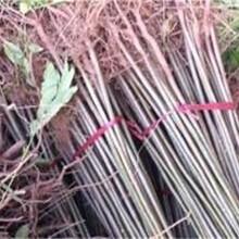 山東東營3公分紅油椿樹苗早熟高產專業種植批發價格是多少圖片