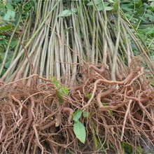 山東濟寧5公分西牟紫椿樹苗長期出售繁育基地圖片