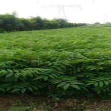 山東青島香椿樹苗早熟高產專業種植出售價格是多少圖片