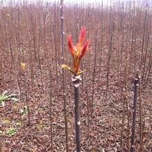 2公分黑油椿樹苗長期出售繁育基地2年苗規格圖片