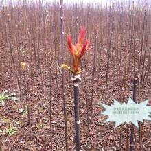 山東濟南紫香椿樹苗最佳種植時間圖片