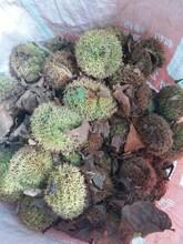 山東青島泰山紅光板栗苗土地到期只求賣出幾月份種植成活率高圖片