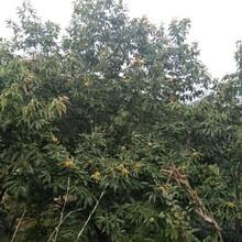 山东烟台1公分泰山海丰板栗苗种植方法种植技术种植要领图片