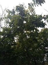 山東濰坊泰山油光板栗苗適合什么地方種植種植要領圖片